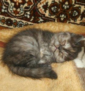 котята Экзоты девочки