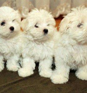 Продаём щенков мальтийской болонки