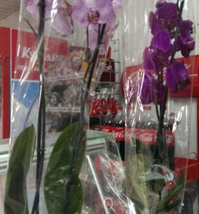 Орхидея темно фиолетовая
