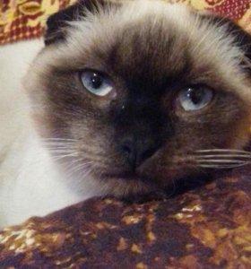Шотландский вислоухий кот МАРКУС
