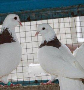 пара голубей гривуны