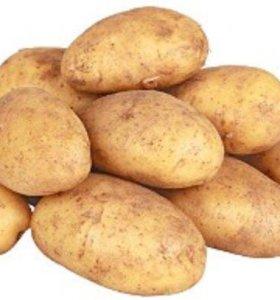 Свежий домашний картофель.  Тыква, капуста.