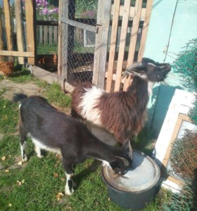 Козочки и козел