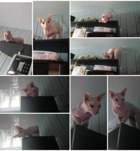 Продам белого кота породы донской сфинкс