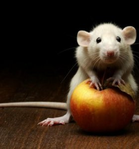 Мышки белые лабораторные/ немецкая линия/