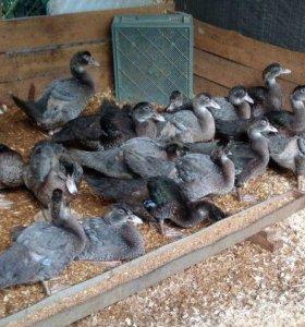 Высокопродуктивные мускусные утки голубые и другие