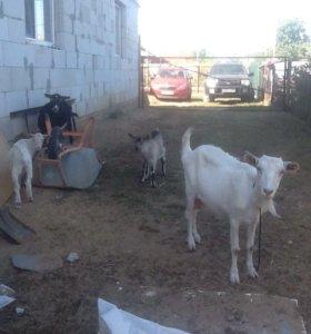 Козы ,молоко