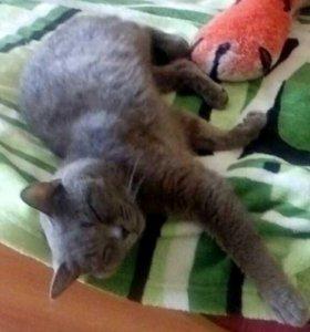 Вязка.Британский Котик