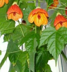 Цветы комнатный клен