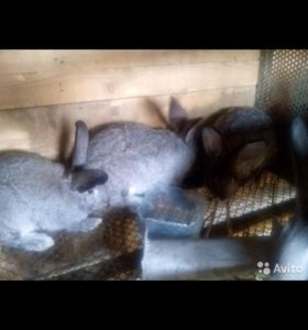 Кролики самки и самци