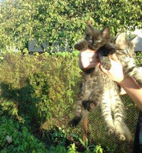 Котята 2месячные и месячные