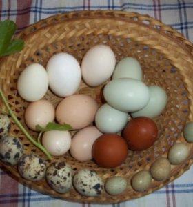 Инкубационное яйцо породистой птицы.
