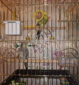 Два попугая корелла