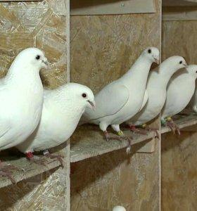 Голуби на свадьбу. Белоснежные голуби. ВАО.
