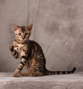 Кошечка бенгальской породы