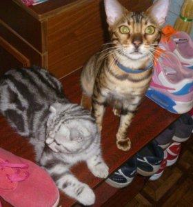Шотландские и бенгальские котятя