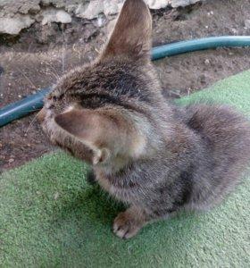 Котята от кошки Британки,но сами не породистые!