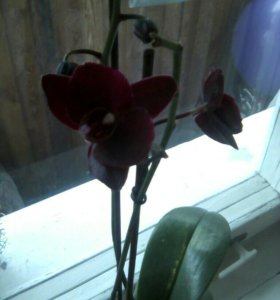 Орхидэя