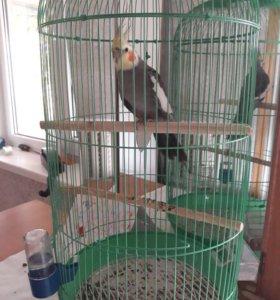 Шикарный попугайчик Корелла