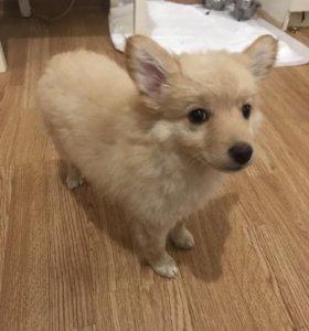 Красивая и милая собачка , Шпиц+чехуа хуа