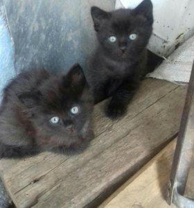 Котята чёрные от сиамской кошки