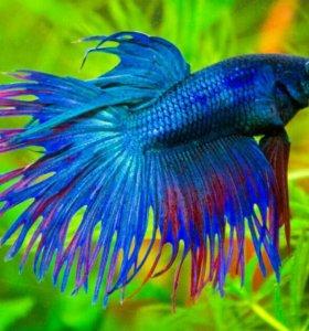 Рыбки петушки (самцы и самки)