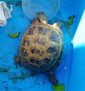 Сухопутная черепаха ручная