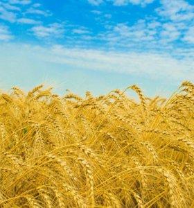 Пшеница 30 тон