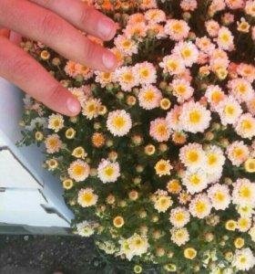 Хризантема шаровидная.