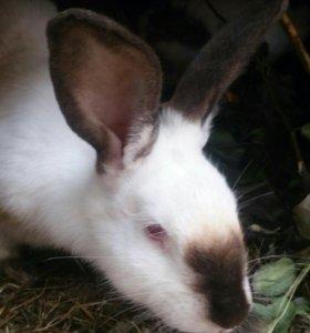 продам 6 взрослых кроликов
