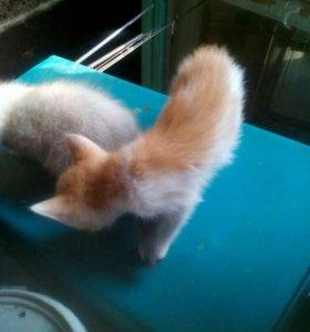 Котята .от хорошей кошки крысы ловли.