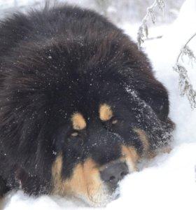 кобель тибетского мастифа вязка