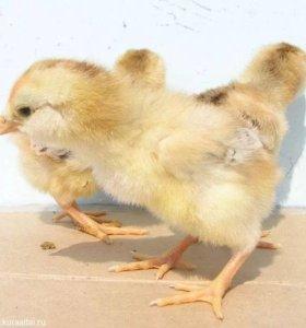 Цыплята орловские ситцевые
