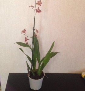 Орхидея одонтоглоссум