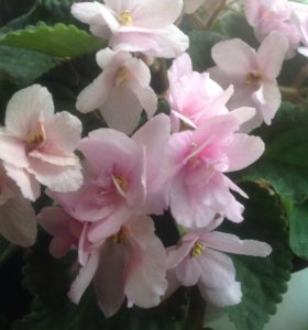 Фиалка нежно розового цвета