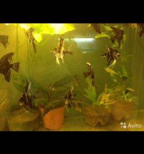 Продам аквариумных рыб