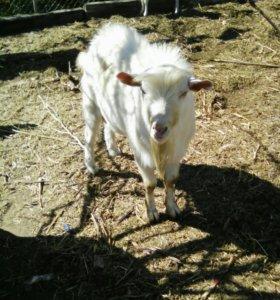 Козёл для ваших коз.