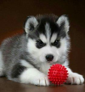 Чистопородный щенок хаски