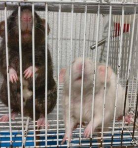 Крыски. Два самца