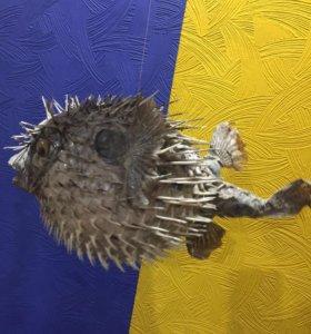 Сувенир ( чучело ядовитой рыбы ёж)