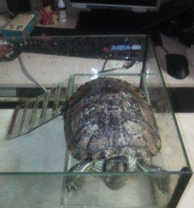Красноухая водная черепаха