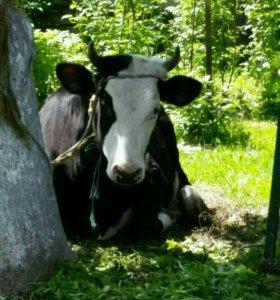 Молоко парное коровье, козье.