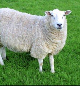 Продаются овцы и ягнята,обращаться ст Полтавская
