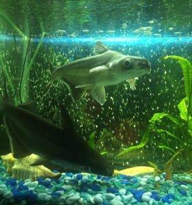 Акулий сом пангамиус