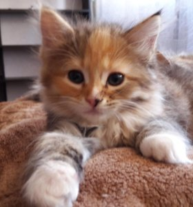 Котёнок, девочка, кличка Пуговка