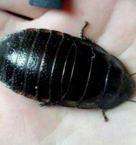 Мадагаскарский таракан мал.