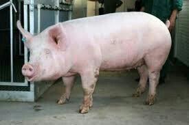 Мясо свиней, баран,бройлеров