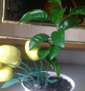 Малыши цитрусовых растений