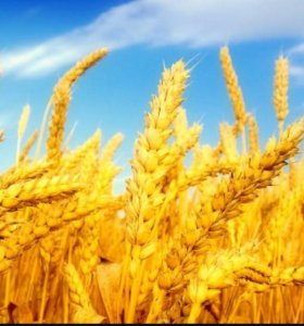 Пшеница 2017