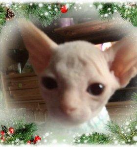 Голубоглазый  котенок  девочка
